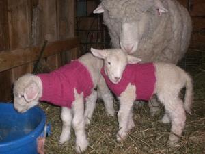 Merino/Romney lambs